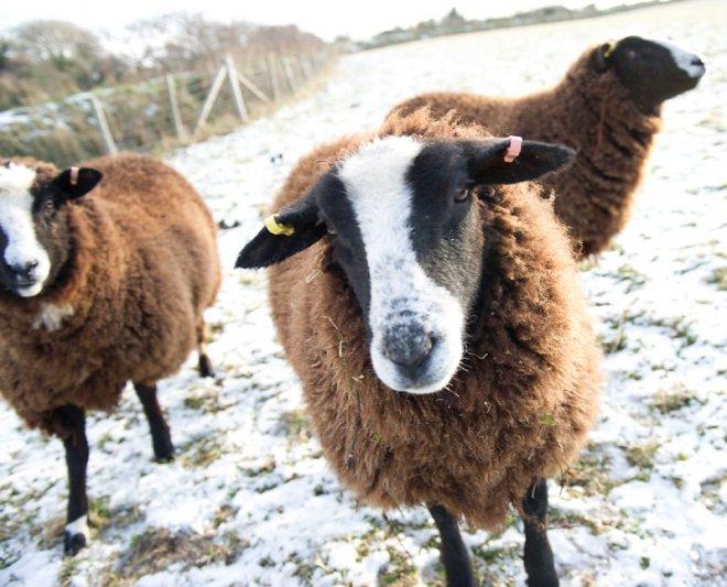 Local_Lamb